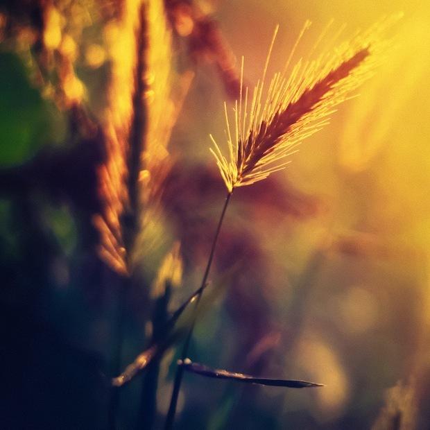 Luce del tramonto sul grano