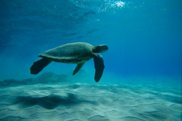 Tartaruga sotto la carta da parati delle onde